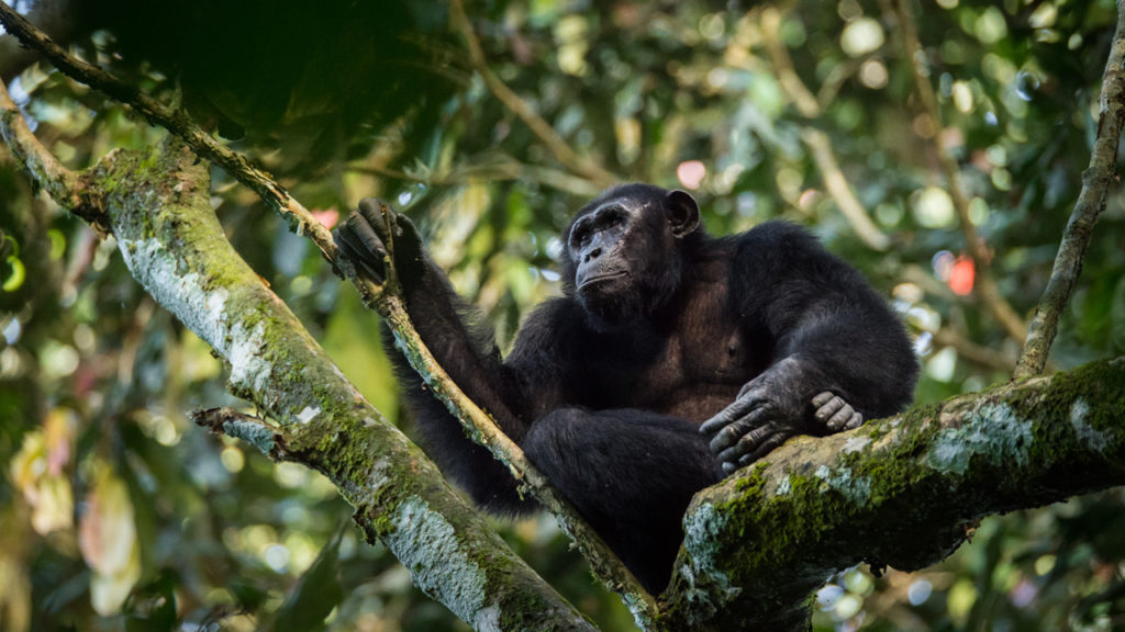 Chimpanzee Watching