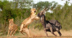 Uganda Wildife Safari