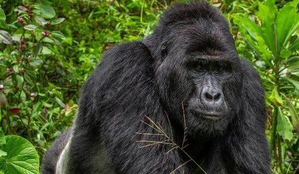 Rafiki Gorillas